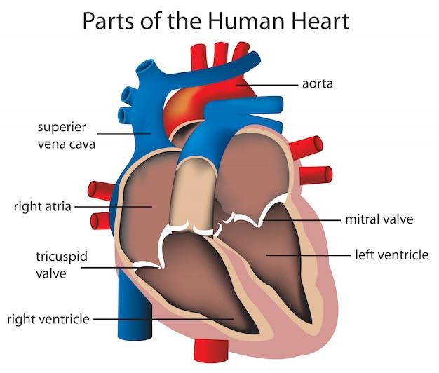 Partes del corazón | Descargar Vectores Premium