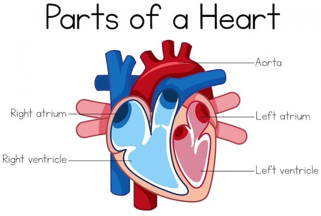 Partes del diagrama del corazón | Descargar Vectores Premium