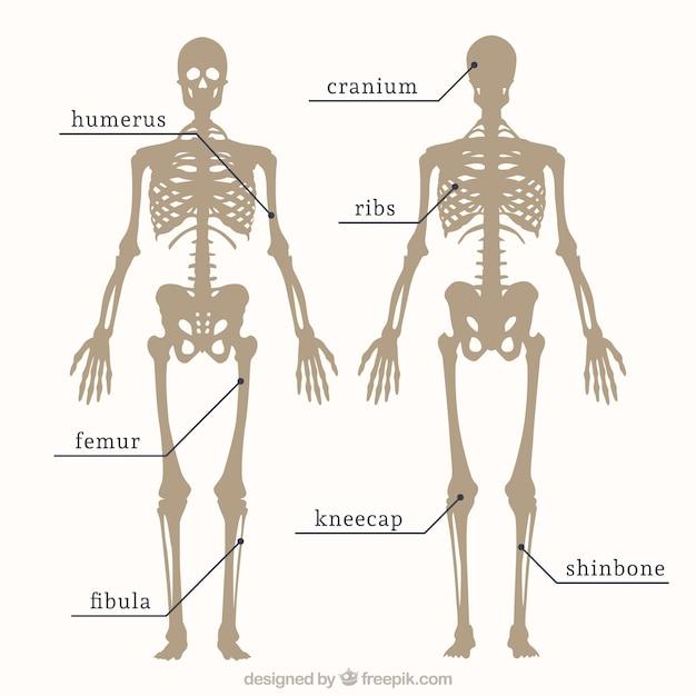 Partes del esqueleto | Descargar Vectores gratis