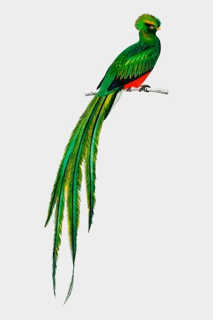 Pavonine quetzal (pharomachrus pavoninus) ilustrado por charles dessalines d'orbigny (1806-1876). vector gratuito