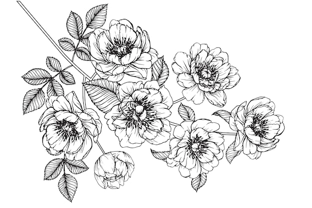 Peonia Julia Rosa Hoja Y Dibujos De Flores Vintage Dibujado A Mano
