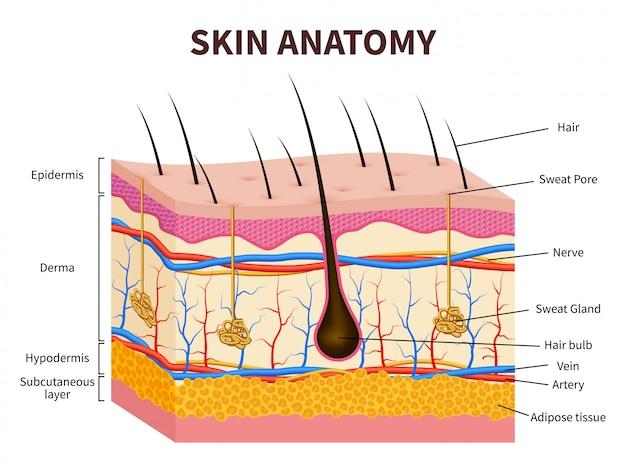 Piel humana. epidermis en capas con folículo piloso, sudor y glándulas sebáceas. ilustración médica de anatomía de piel sana Vector Premium