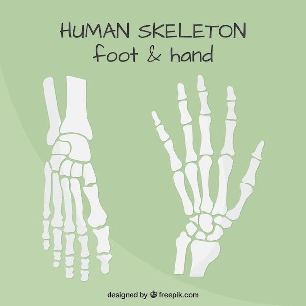 huesos de la las manos y pies