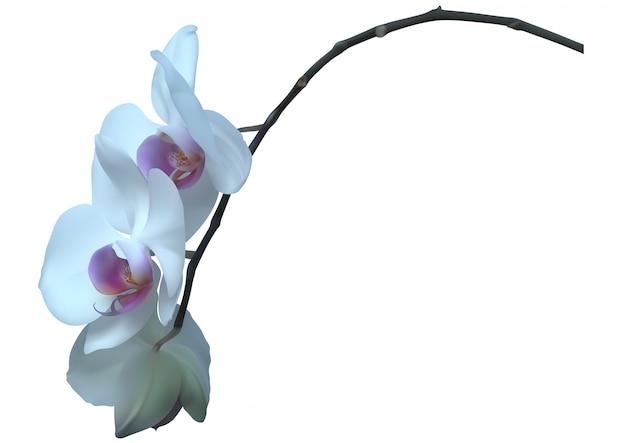 Planta de orquídea blanca con flores Vector Premium