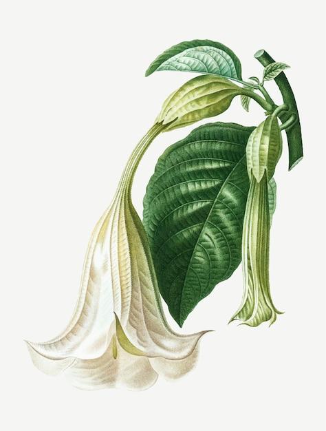 Planta de trompeta de angel vector gratuito