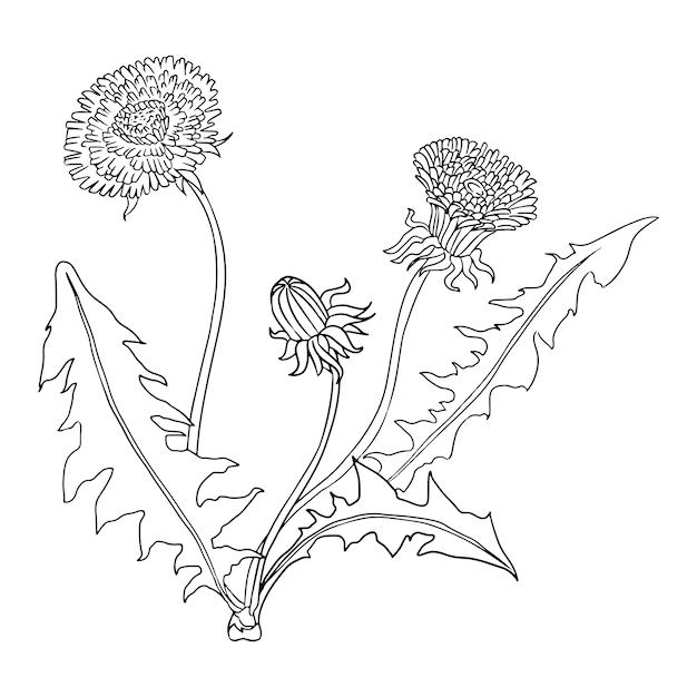 Plantilla para colorear de lineart botánico de diente de león ...