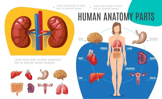 Plantilla de infografía de anatomía humana con mujer cuerpo cerebro estómago hígado útero corazón riñones pulmones intestino bazo en estilo de dibujos animados vector gratuito