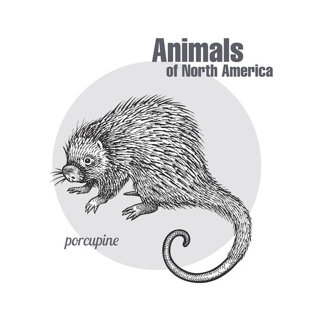 Puerco espín. serie animales de américa del norte. Vector Premium