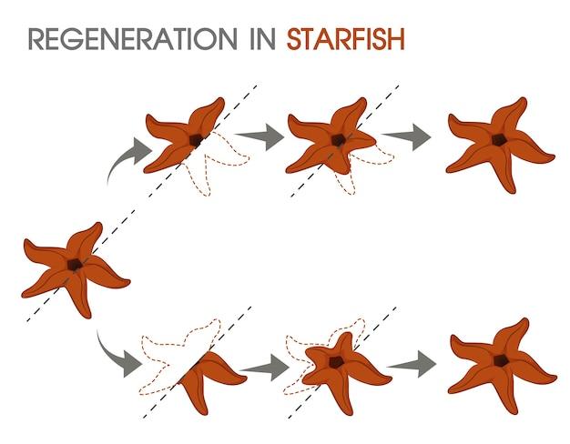 Regeneración en estrella de mar.   Vector Premium