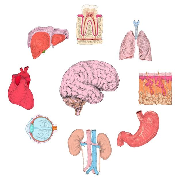 Set de órganos humanos | Descargar Vectores Premium