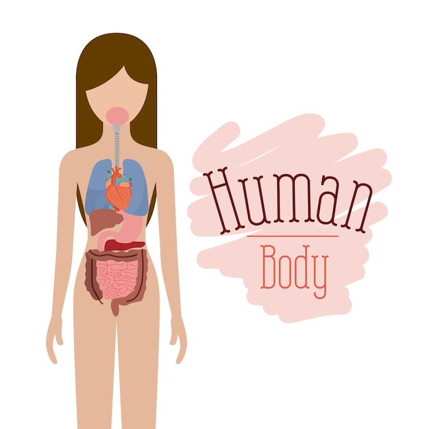 Sistema de órganos internos del cuerpo humano   Descargar Vectores ...