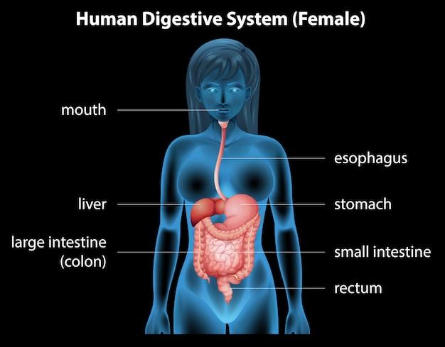 Sistema digestivo humano vector gratuito