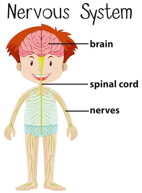 Sistema nervioso en el cuerpo humano | Descargar Vectores Premium