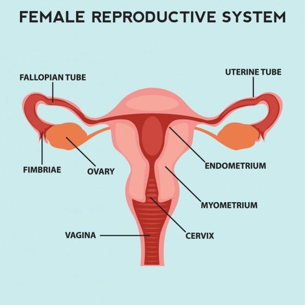Sistema reproductivo femenino | Descargar Vectores gratis