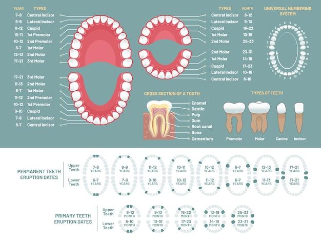Tabla de anatomía del diente Vector Premium
