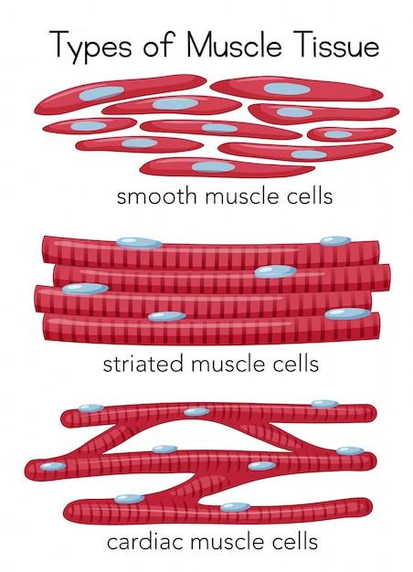 Tipos de tejido muscular | Descargar Vectores Premium