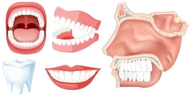 Un conjunto de dientes humanos | Descargar Vectores Premium