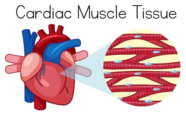 Un tejido muscular cardíaco humano | Descargar Vectores Premium