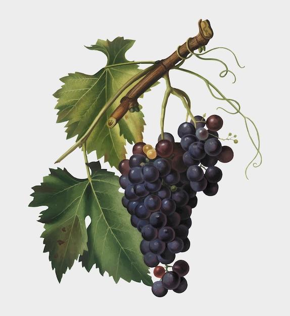 Uva negra de la ilustración de pomona italiana. vector gratuito