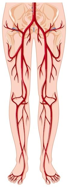 Los vasos sanguíneos en el cuerpo humano vector gratuito