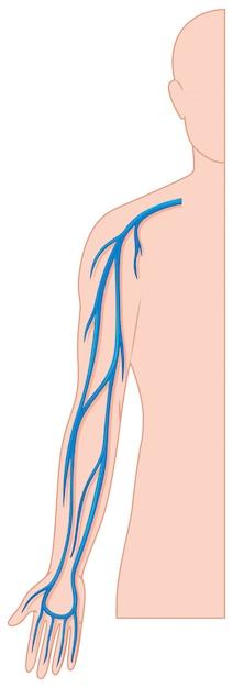 Vasos sanguíneos de la mano en el cuerpo humano vector gratuito