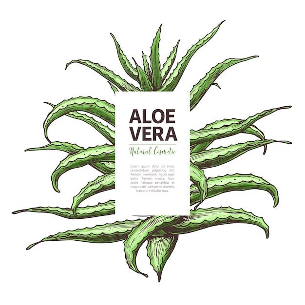 Aloe vera skizze design vorlage von etikett hand gezeichnet nach hause kräutermedizin blume und pflanze Premium Vektoren
