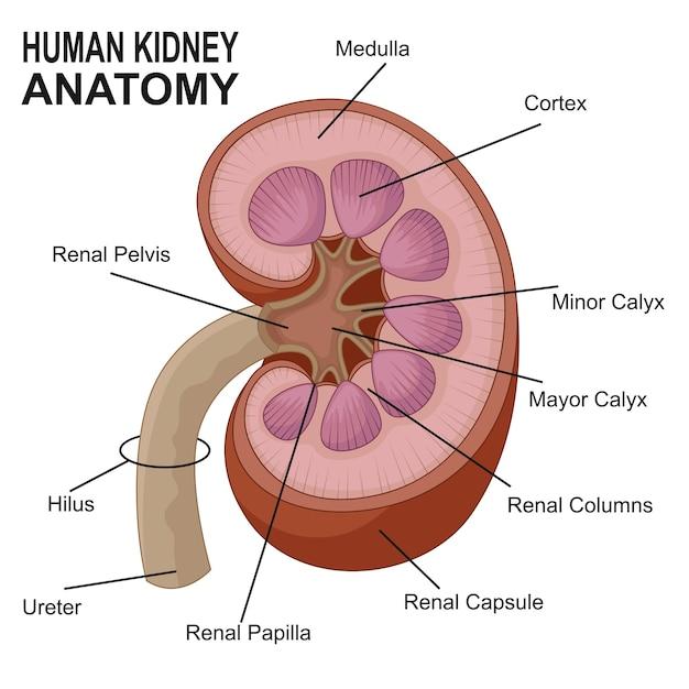Anatomie der menschlichen Niere | Download der Premium Vektor