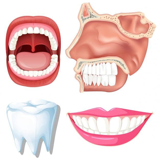 Anatomie der menschlichen Zähne   Download der Premium Vektor