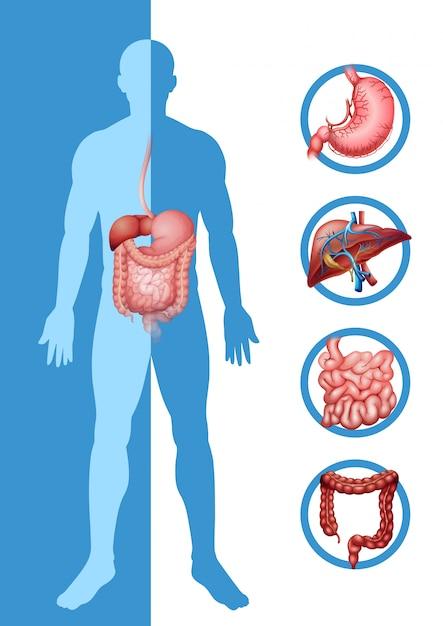 Anatomie des Menschen zeigt verschiedene Organe | Download der ...