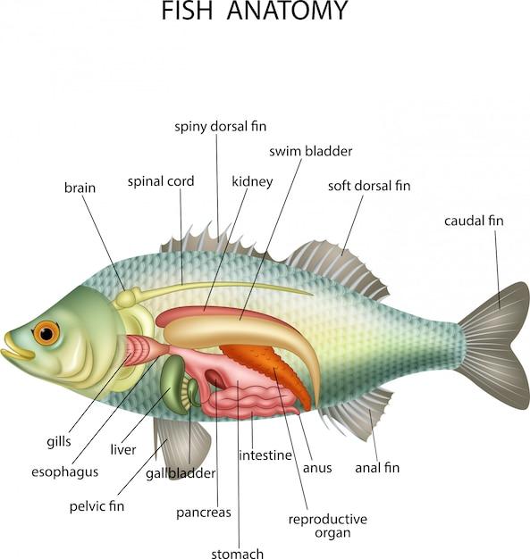 Anatomie von Fischen | Download der Premium Vektor