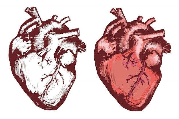 Anatomisches menschliches herz, hand gezeichnete vectorized illustration Premium Vektoren