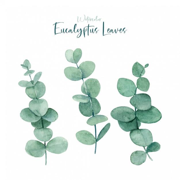 Aquarell-eukalyptus verlässt sammlungen Premium Vektoren