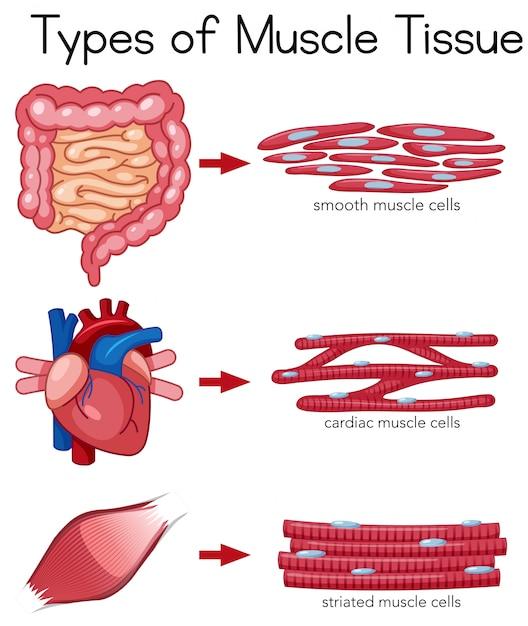 Arten von Muskelgewebe | Download der Premium Vektor