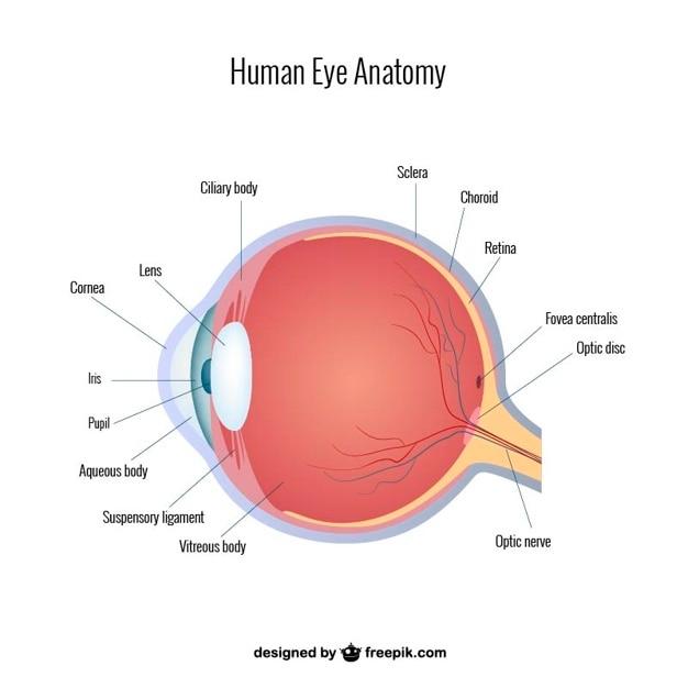Augen anatomie vektor Kostenlosen Vektoren