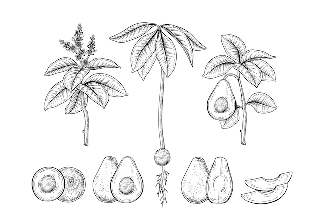 Avocado frucht dekorative handgezeichnete botanische illustrationen gesetzt Kostenlosen Vektoren