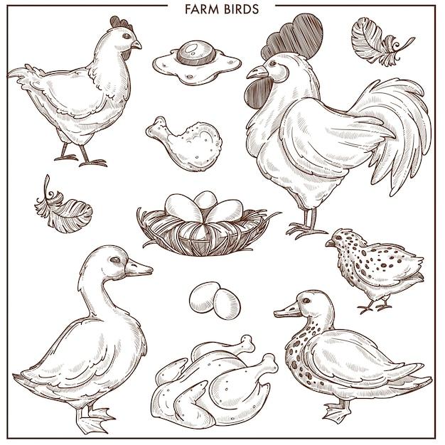 Bauernhofvögel mit kleinem nest und frischen eiern Premium Vektoren