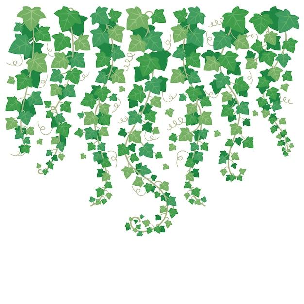Baumelnder grüner efeu Premium Vektoren