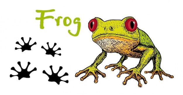 Bild eines grünen laubfrosches auf weißem hintergrund. frosch rote augen. skizze des frosches, hand gezeichnete illustration. der frosch und seine spuren. fußabdrücke eines frosches. Premium Vektoren