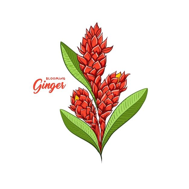 Blühendes betriebsgewürz der ingwerblume. botanische vektorabbildung Kostenlosen Vektoren