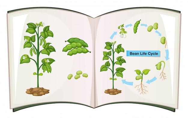 Buch des bohnenlebenszyklus Kostenlosen Vektoren