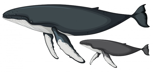 Buckelwal auf weißem hintergrund Kostenlosen Vektoren