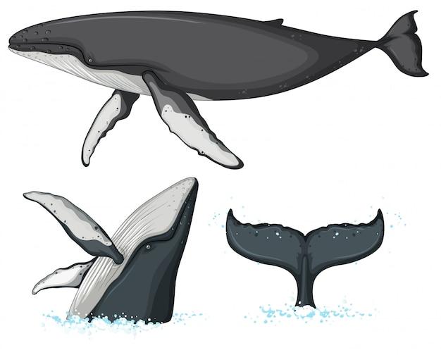 Buckelwalcharakter auf weißem hintergrund Premium Vektoren
