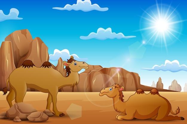 Cartoon kamele leben in der wüste Premium Vektoren