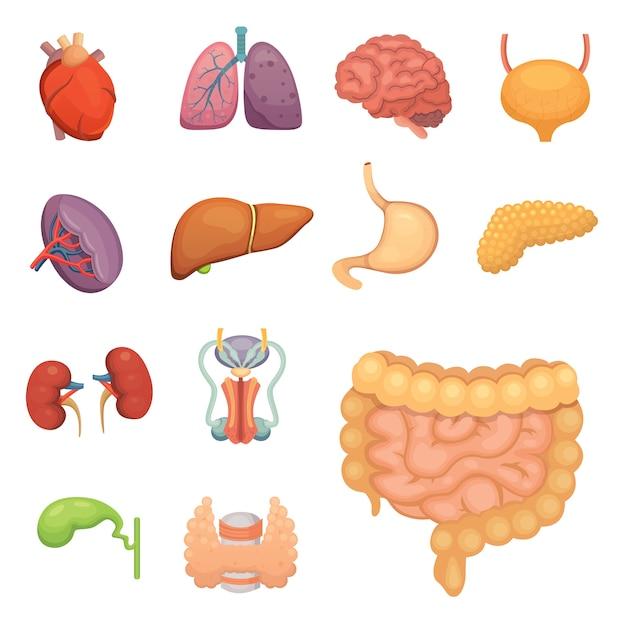 Cartoon menschliche organe gesetzt. anatomie des körpers. fortpflanzungssystem, herz, lunge, gehirnillustrationen. Premium Vektoren