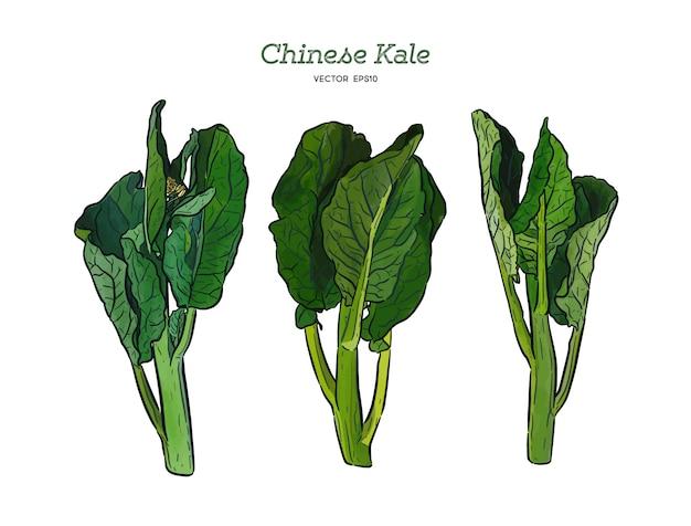 Chenese-kohl oder chinesischer brokkoli, gemüse. skizze vektor hand zeichnen. Premium Vektoren