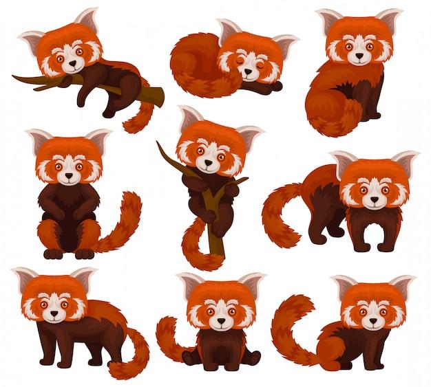 Chinesisches rotes panda-set, niedliche flauschige wilde tiere in verschiedenen posen illustration auf einem weißen hintergrund Premium Vektoren