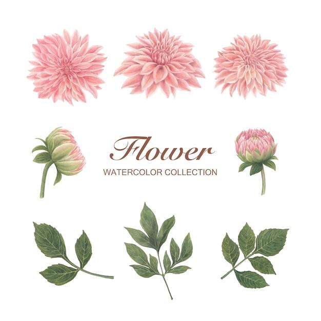 Chrysanthemenaquarell-blütenblume auf weiß für dekorativen gebrauch. Kostenlosen Vektoren