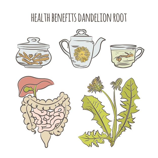 Dandelion vorteile apotheke medizinische pflanze botanische natur gesundheit hand gezeichnet Premium Vektoren