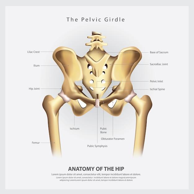 Der beckengürtel der menschlichen hüftknochen-anatomie-vektor-illustration Premium Vektoren