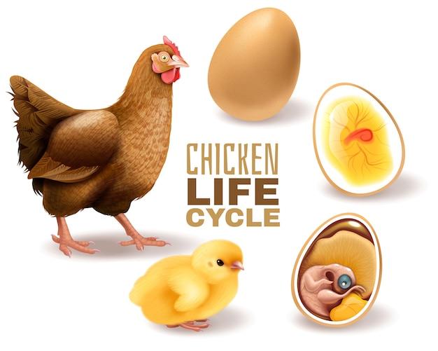 Der hühnerlebenszyklus inszeniert die realistische zusammensetzung von der entwicklung des fruchtbaren eiembryos bis zur erwachsenen henne Kostenlosen Vektoren